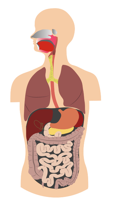 Lungs and digestive system