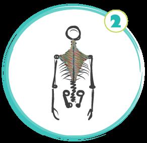SkeletonsMuscles