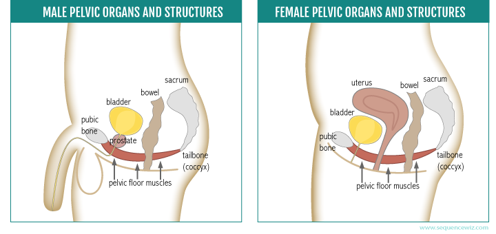 Pelvic floor muscles and organs