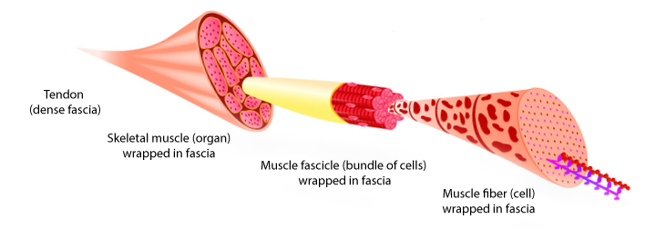 Muscle-structure