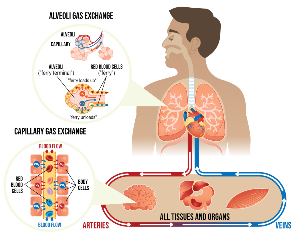 Gas exchange within the body